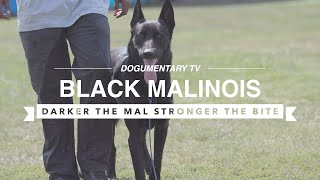 BLACK MALINOIS: PROTECTING IN SOUTH CENTRAL LOS ANGELES