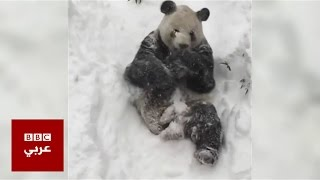 الباندا الضخم في واشنطن يلهو بالطقس الثلجي