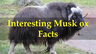 Interesting Musk ox Facts