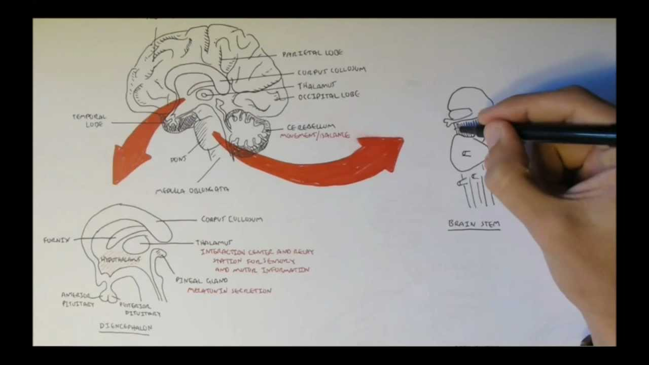Brain Anatomy Overview - Lobes  Diencephalon  Brain Stem  U0026 Limbic System