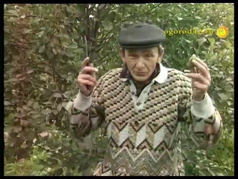 Груши и яблоки Руденко
