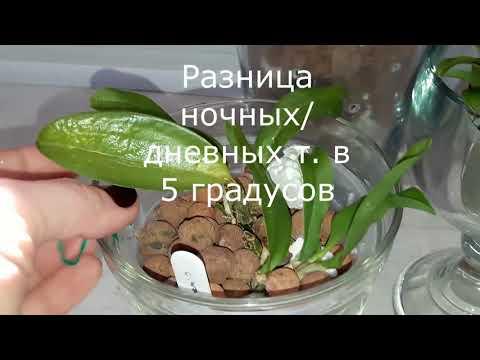 Орхидея каттлея - полив ч. 2