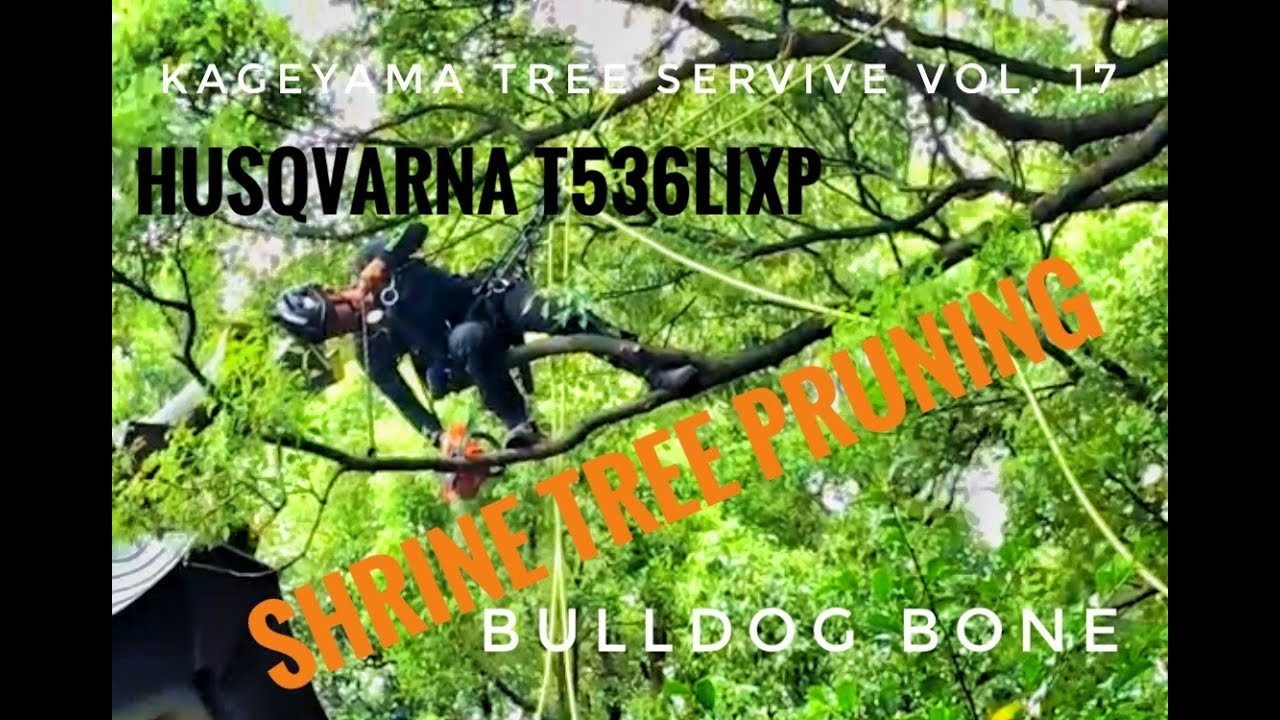 Shrine Tree Pruning 1 / 3 kageyama Tree Service vol.17 / Arborist / 空師 / ツリークライミング