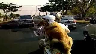 Funny Cute Smart Ace Golden Retriever - 1st Test Drive :)