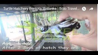 Turtle Hatchery Bentota |Srilanka | Solo Travel Srilanka Must to do