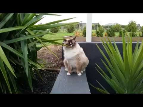 Valentino in the wind - PoathCats / PoathTV / Floppy Ragdoll Cats