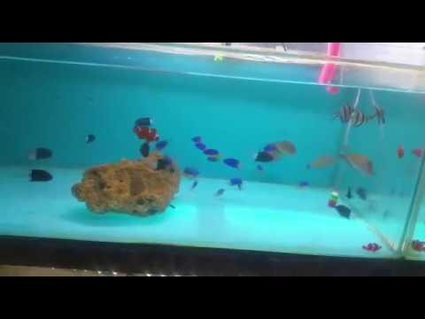 aquarium  marine and anemone fish for sale at joes aqua world mumbai 9833898901