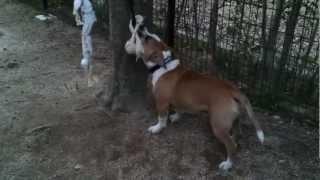 Staffordshure Bull Terrier ブレイブ、5ヶ月、18キロオーバー.