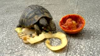 Tartaruga Mangia Mela, Pera E Arancia - Turtle Eats Apple, Pear And Orange - 26/04/2014