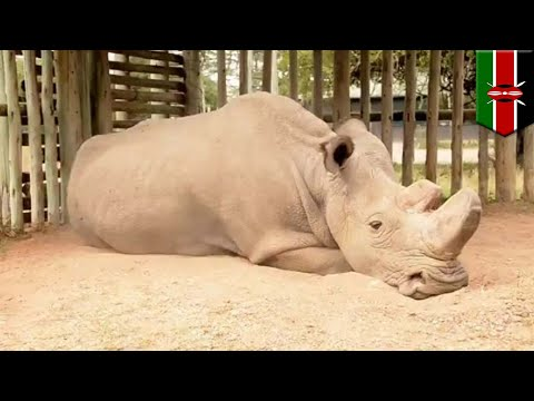 Northern White Rhino: Sudan is the last male Northern White Rhino in existence - TomoNews