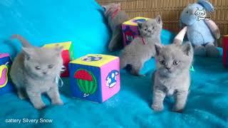 Британские котята(мальчики). Помет от 19.03.18