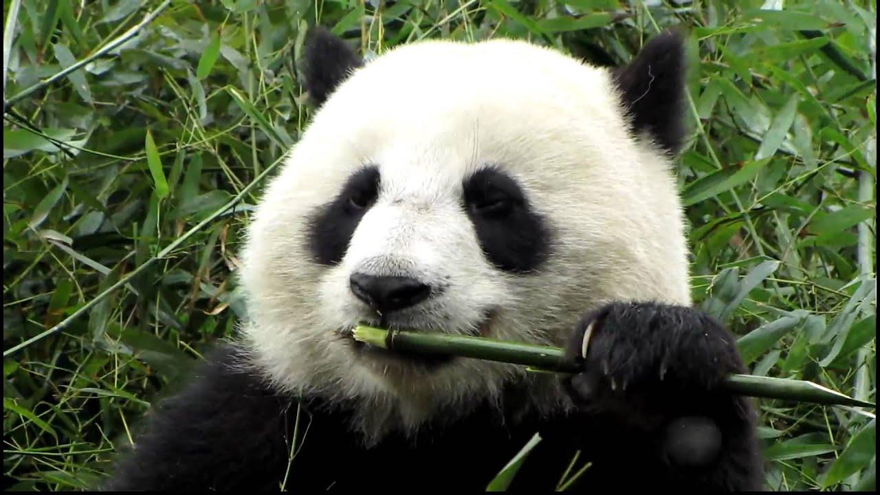 Close Up Panda Eating Bamboo At Panda Reserve Chengdu