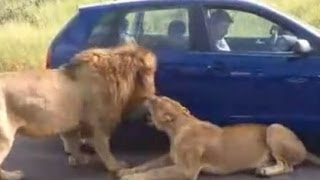 LIONS stops tourist in ROAD BLOCK in KRUGER !!!