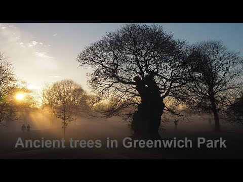 Ancient chestnut trees in Greenwich Royal Park London