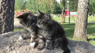 Котята мейн кун   2 месяца   на прогулке