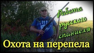 Охота на перепела. Работа русского спаниеля по перепелу. Первый удачный выход  2017.