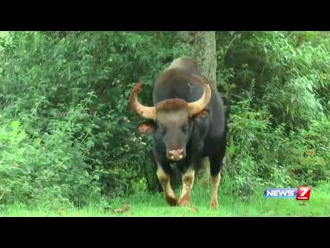 Ban for tourists in SIMS park after bison attacks honeymoon couple at Ooty | News7 Tamil