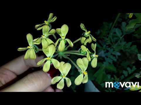 пеларгония p. gibbosum видовая суккулентная