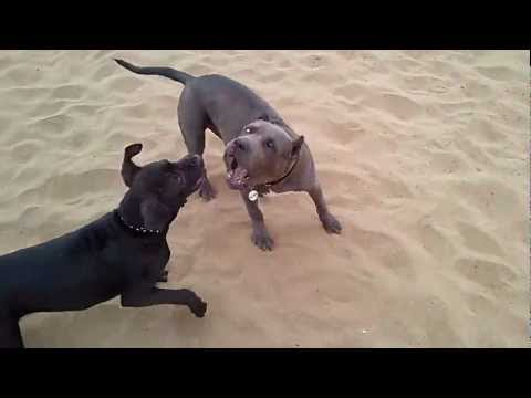 5 month pit bull puppies fighting