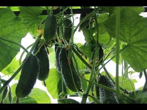 Эти Огурцы Буду Сажать Всегда. Высокий Урожай В Любых Условиях.