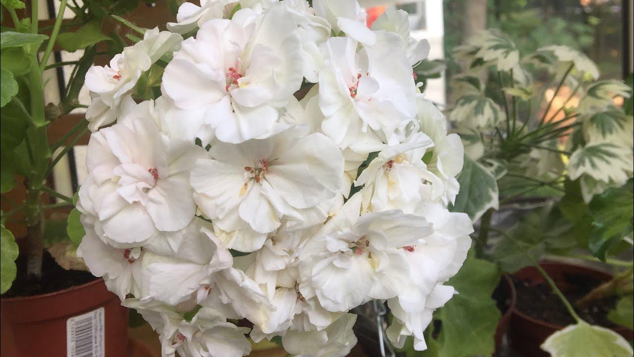 Мои цветущие пеларгонии (герани) в июне 2019
