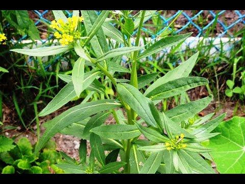 Трава желтушник: серый для похудения, левкойный