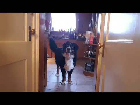 Max our Bernese Mountain Dog excited about going for a walk