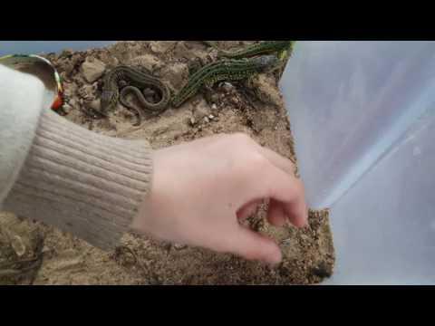 видео: Как различить ящериц по полу.