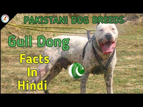 Gull Dong Facts | Hindi | PAKISTANI DOG BREEDS | GULL DONG DOG