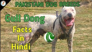Gull Dong Facts | Hindi | PAKISTANI DOG BREEDS | GULL DONG DOG
