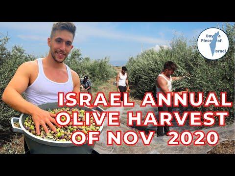 Israel Annual Olive Harvest Of November 2020