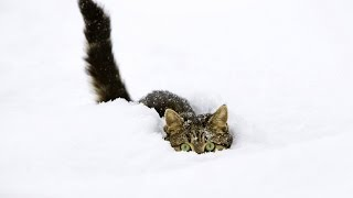Смешные коты в снегу) (Funny Cats in Snow)