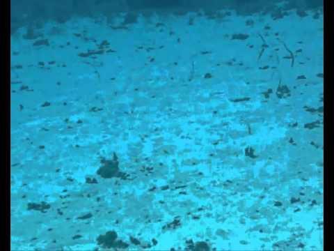 Anguila jardinera marrón-Brown sand eel (heteroconger longissimus)
