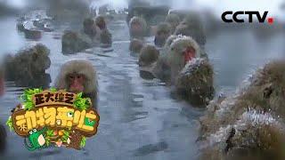 [正大综艺·动物来啦]猕猴会不会游泳  CCTV
