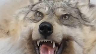🏹Чучело фото! Изготовление чучел животных! Купить чучело  животных!Волк шкура и чучела животных!