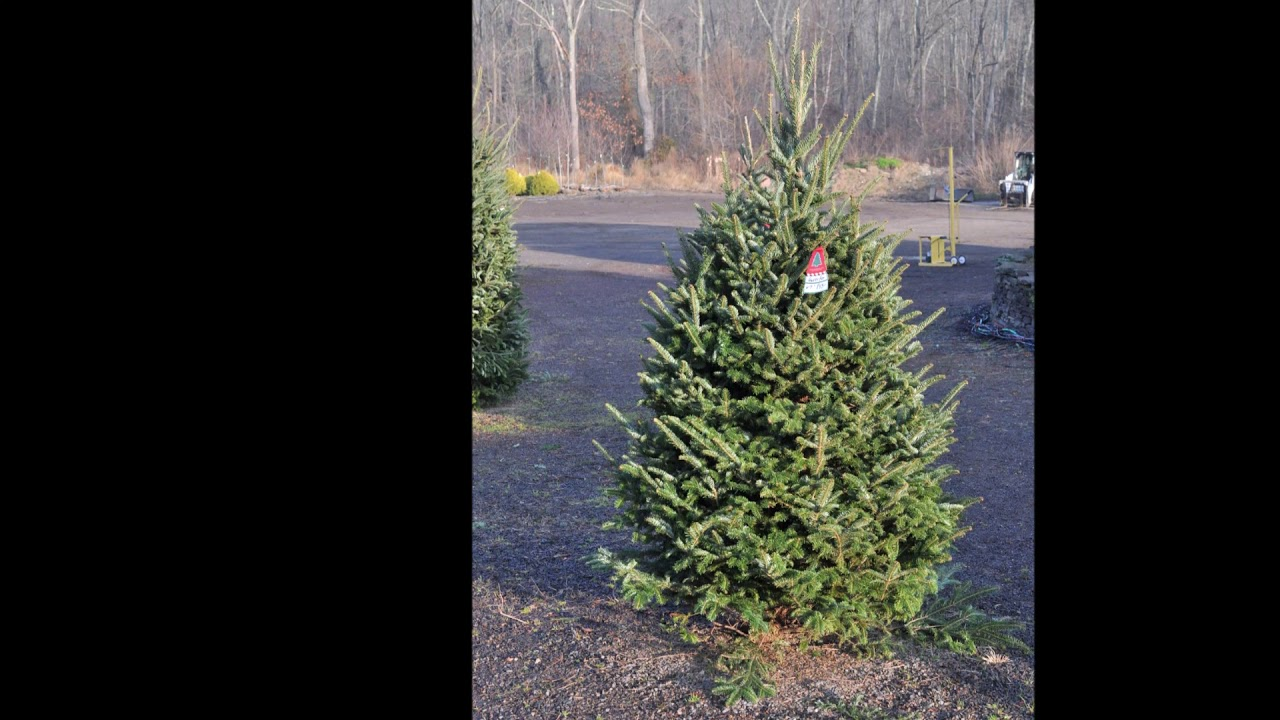 Christmas Tree Farm Arizona.Small Tabletop Christmas Trees At Our Bucks County Tree Farm Dwarf Alberta Spruces