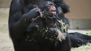 Download Video チンパンジー 双子の赤ちゃん140  Chimpanzee twin baby MP3 3GP MP4