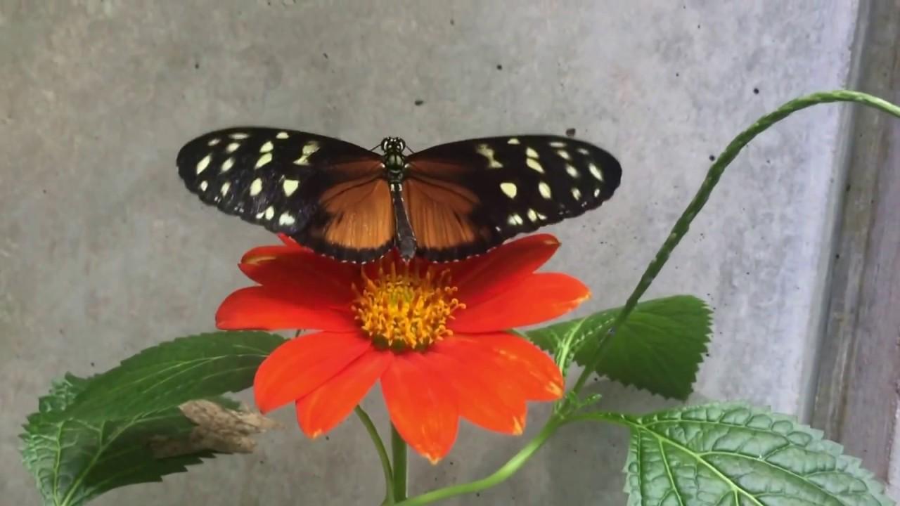 Welcome to the wonderful world of some Butterflies — Mùa BƯỚM bay  ở  BẮC CALIFORNIA, Mỹ