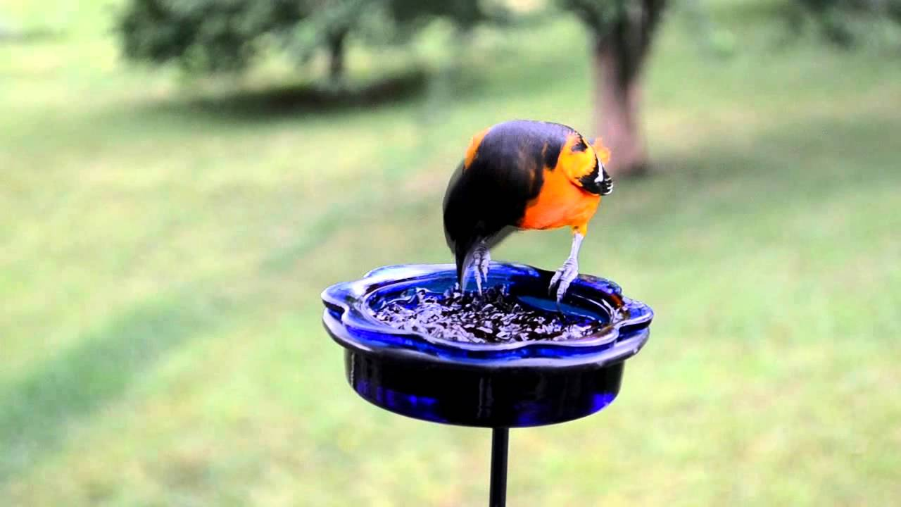 the what to unlimited pin best for wild birds feeder oriole orioles s way attract