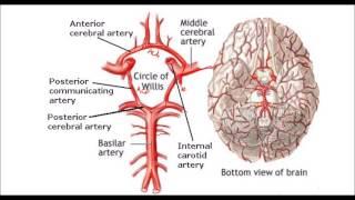 Del pdf circulacion cerebro