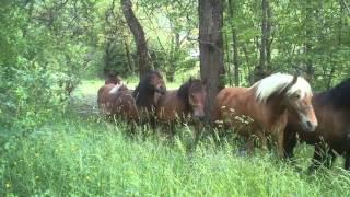 Troupeau de chevaux de trait Comtois