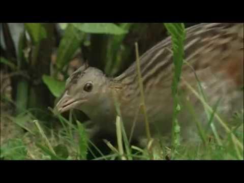 Le Râle des genêts – un oiseau de prairie menacé