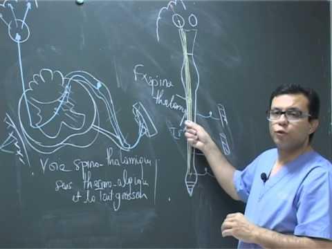 Anatomie fonctionnelle de la moelle épinière