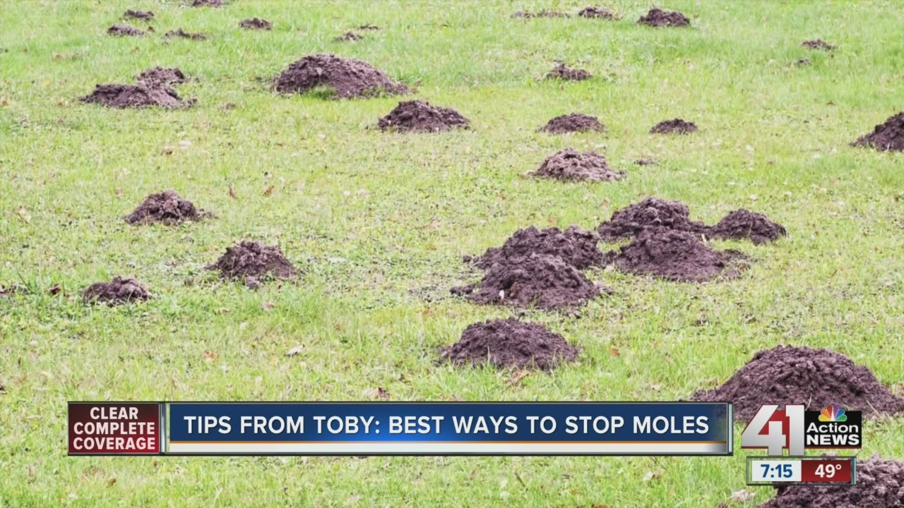 Tips From Toby Best Ways To Stop Moles Youtube