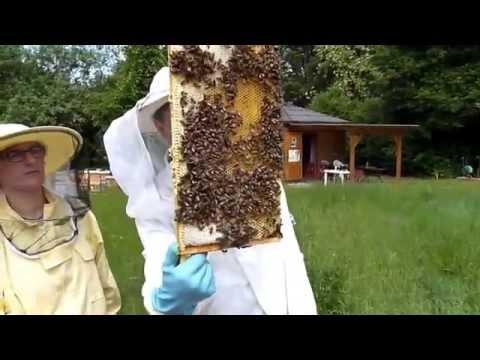 BD Bienen-Leasing mit Völkerkontrolle - 23.5.2015
