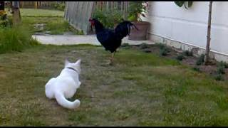 Chicken teaches Cat how to catch a Mouse!