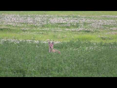 Awesome DOUBLE DOWN with the Browning .243!!! – Coyote Hunting