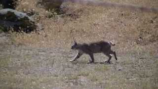 20140427 Surprise A Wild Bobcat, Kern County, CA