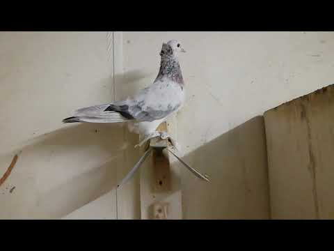 Армянские бойные голуби Ленинаканские Ереванские питомник Мурадяна