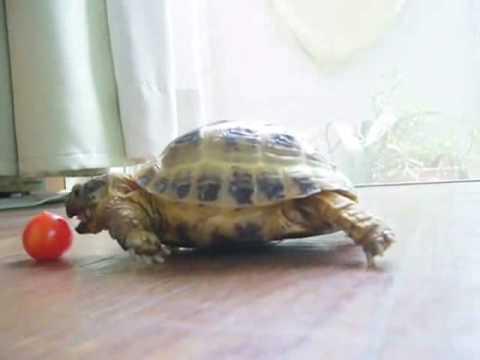 schildkröte und tomate